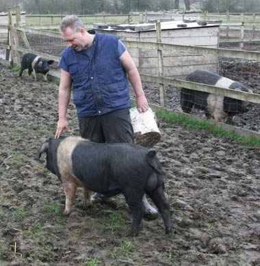 british saddleback and welsh pigs for sale